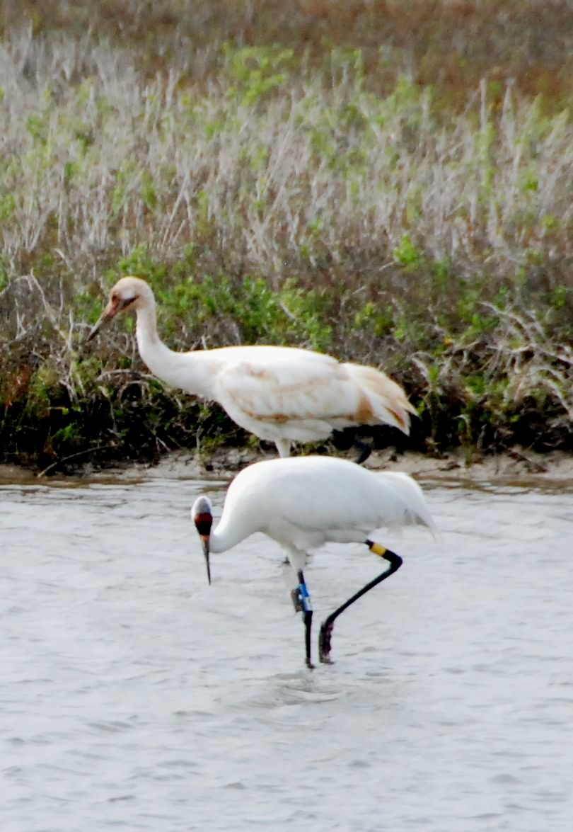 Two of 308 whooping cranes bred in the wild